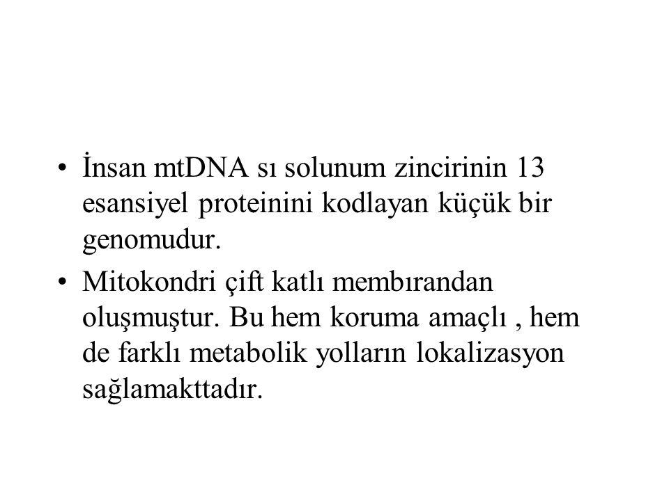 İnsan mtDNA sı solunum zincirinin 13 esansiyel proteinini kodlayan küçük bir genomudur.