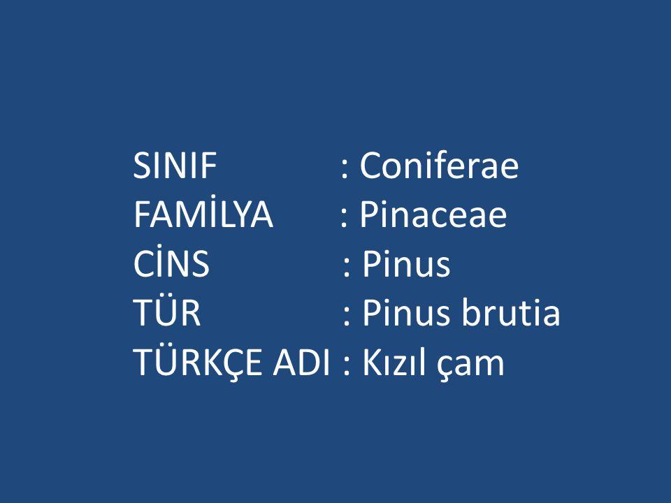 SINIF : Coniferae FAMİLYA : Pinaceae. CİNS : Pinus. TÜR : Pinus brutia.