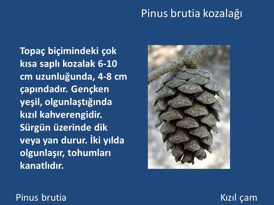 Pinus brutia kozalağı
