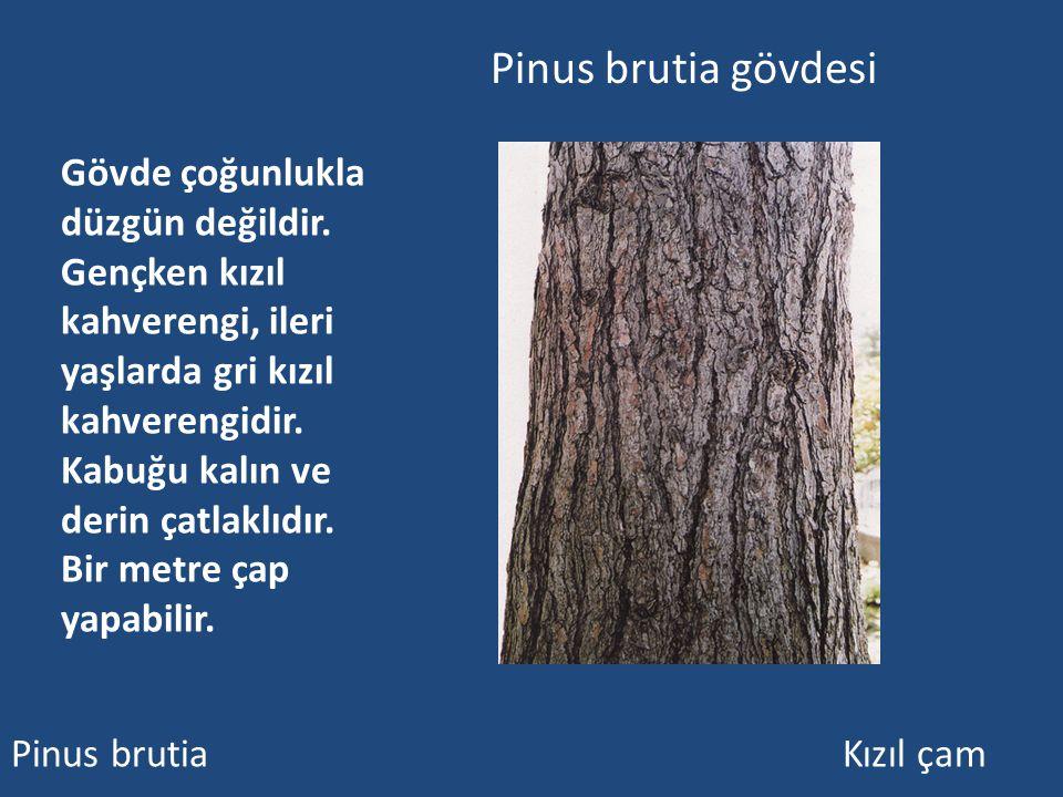 Pinus brutia gövdesi