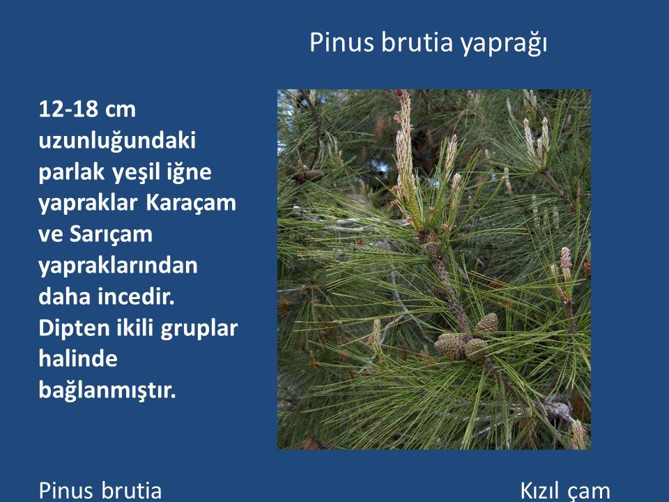 Pinus brutia yaprağı