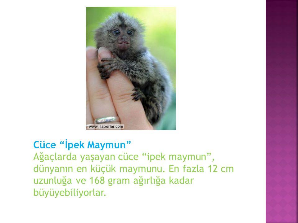 Cüce İpek Maymun Ağaçlarda yaşayan cüce ipek maymun , dünyanın en küçük maymunu.