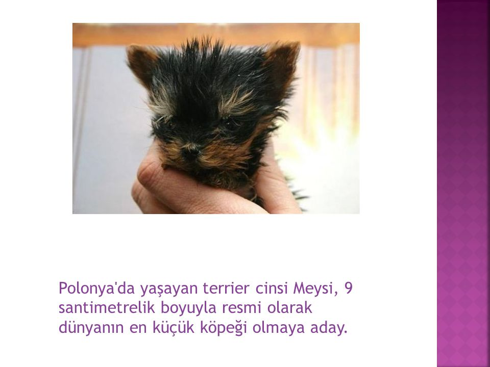 Polonya da yaşayan terrier cinsi Meysi, 9 santimetrelik boyuyla resmi olarak dünyanın en küçük köpeği olmaya aday.