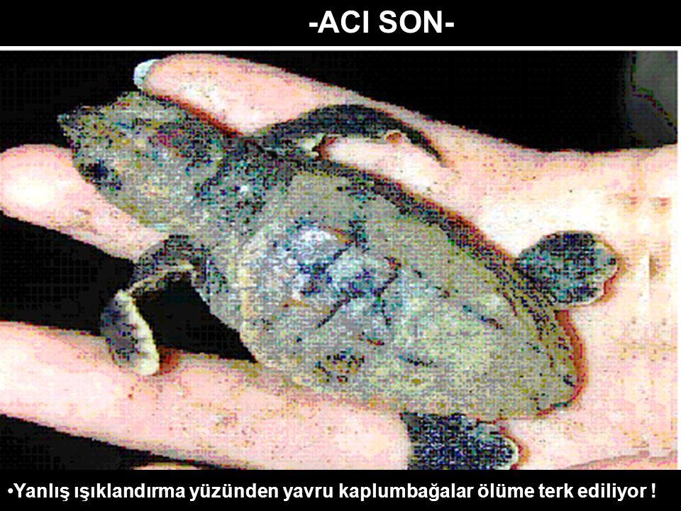 -ACI SON- Yanlış ışıklandırma yüzünden yavru kaplumbağalar ölüme terk ediliyor !