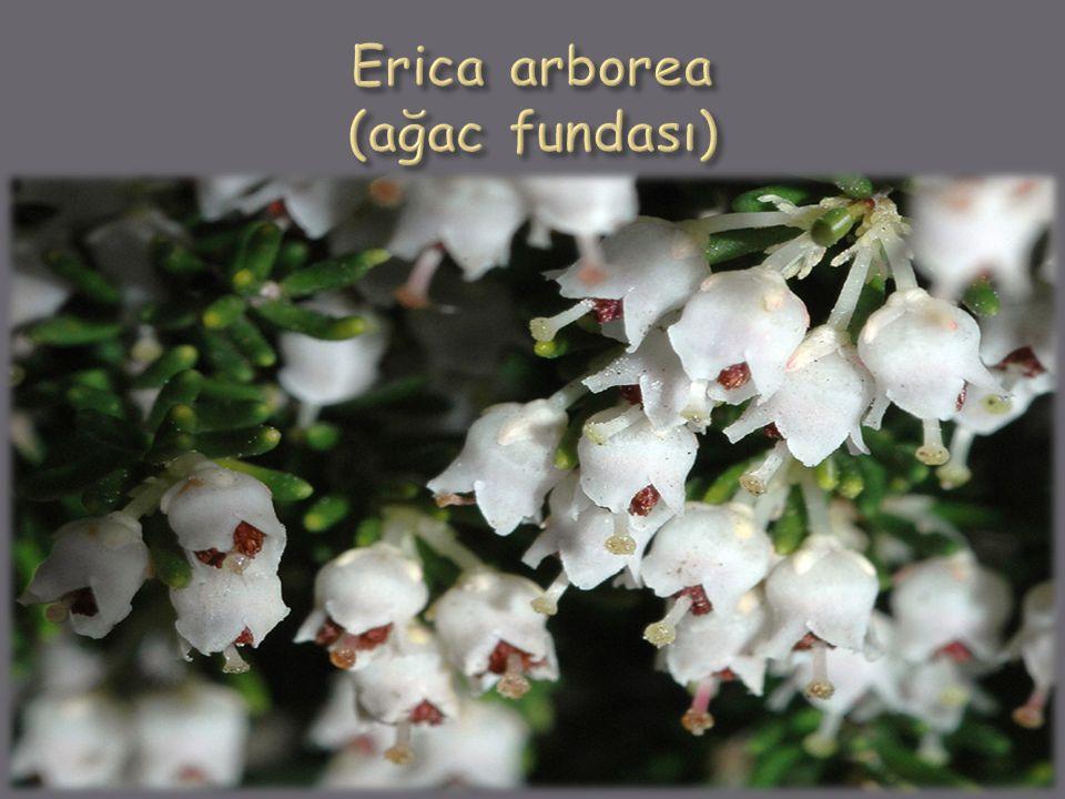 Erica arborea (ağac fundası)