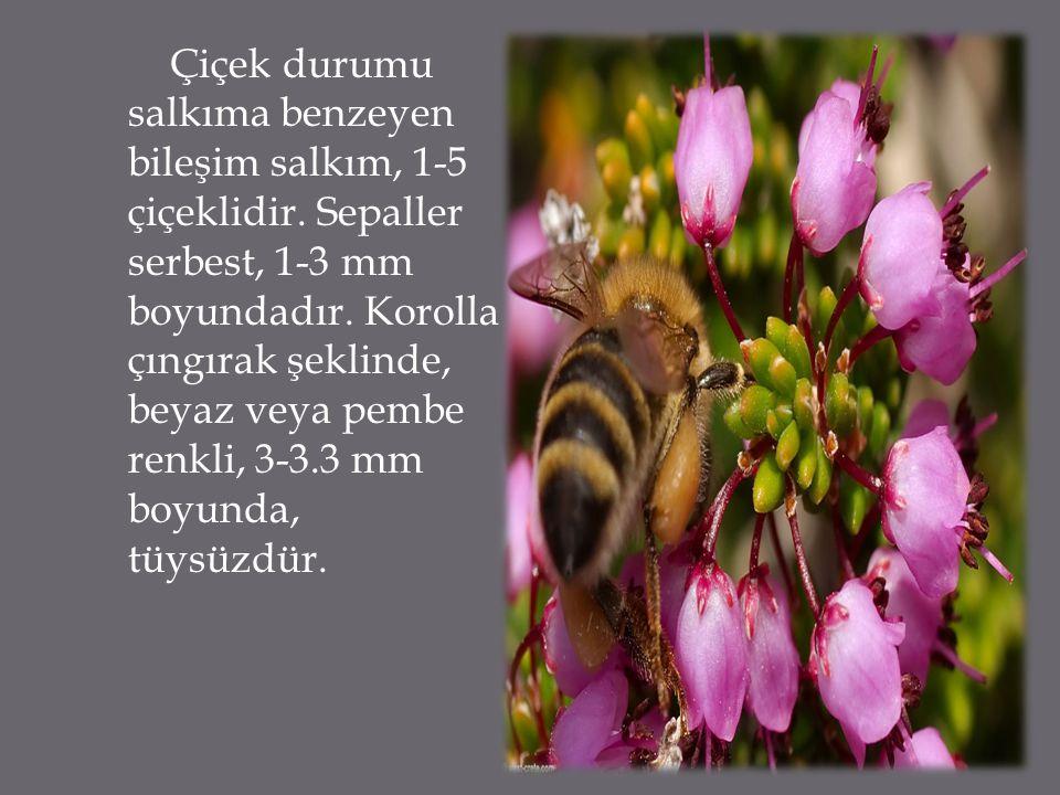 Çiçek durumu salkıma benzeyen bileşim salkım, 1-5 çiçeklidir