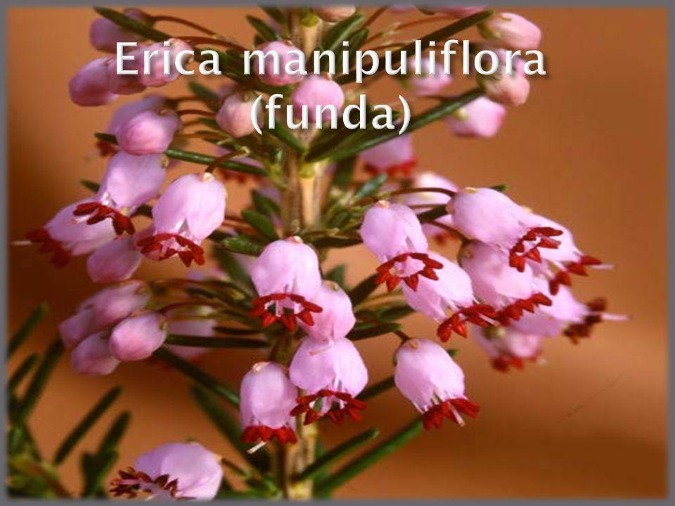 Erica manipuliflora (funda)