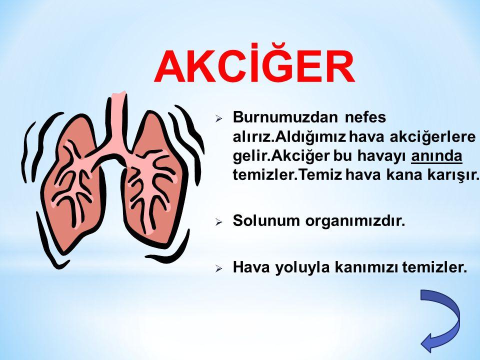 AKCİĞER Burnumuzdan nefes alırız.Aldığımız hava akciğerlere gelir.Akciğer bu havayı anında temizler.Temiz hava kana karışır.
