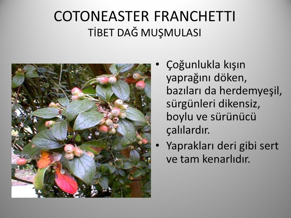 COTONEASTER FRANCHETTI TİBET DAĞ MUŞMULASI