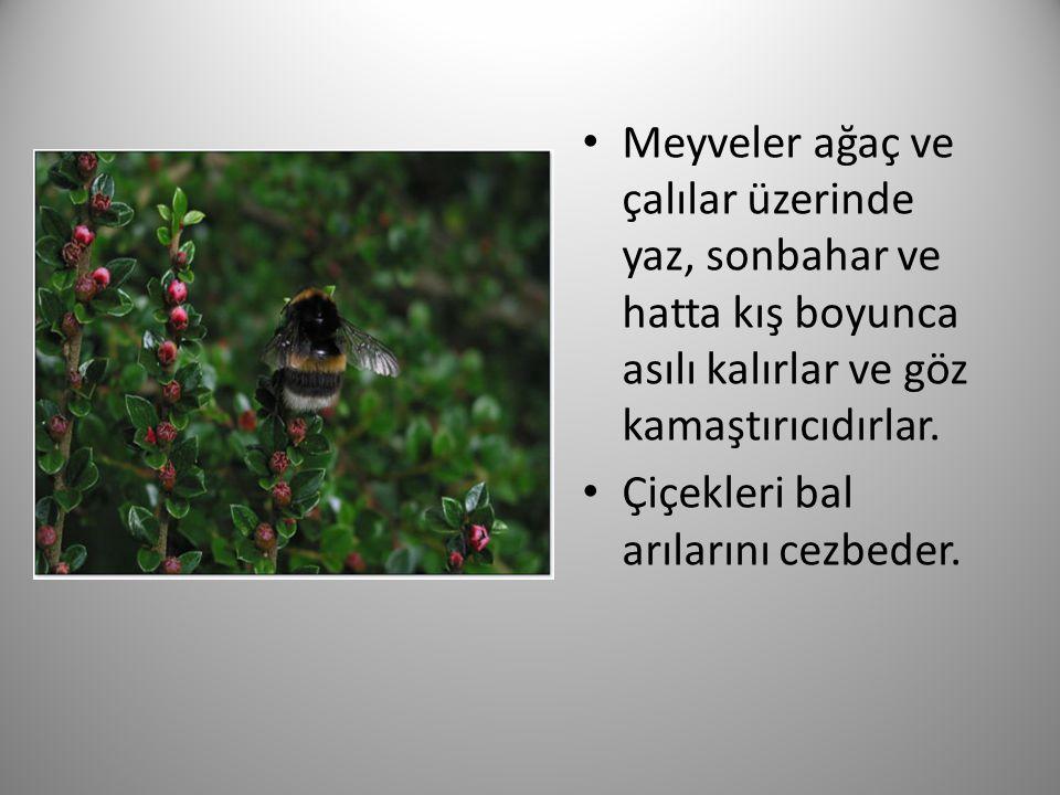 Meyveler ağaç ve çalılar üzerinde yaz, sonbahar ve hatta kış boyunca asılı kalırlar ve göz kamaştırıcıdırlar.