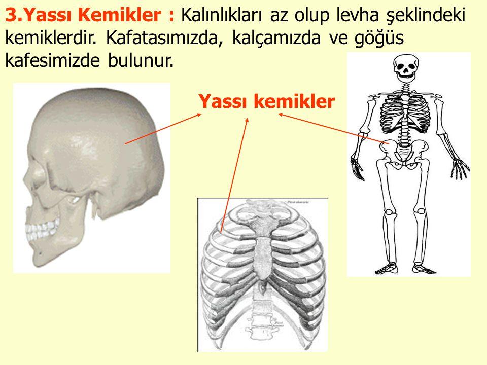 3. Yassı Kemikler : Kalınlıkları az olup levha şeklindeki kemiklerdir