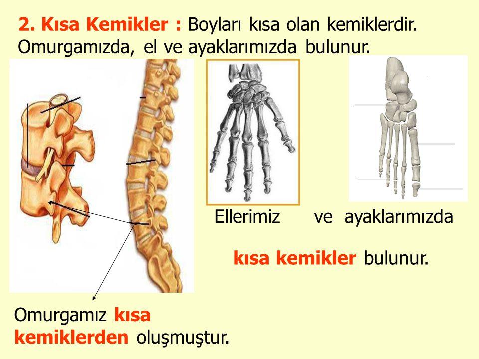 2. Kısa Kemikler : Boyları kısa olan kemiklerdir