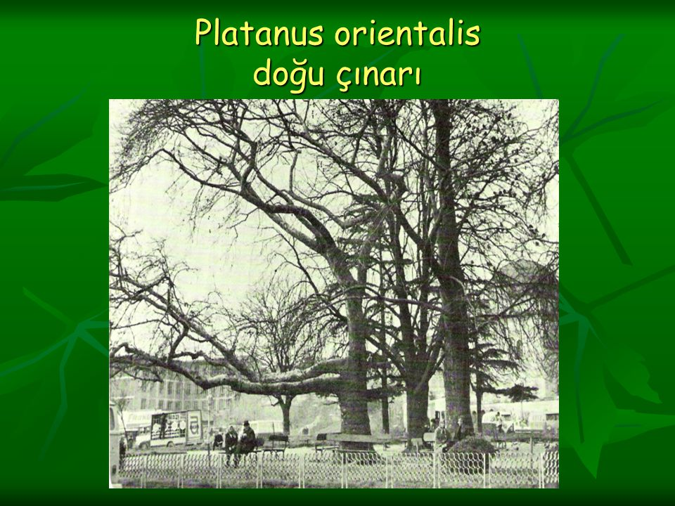 Platanus orientalis doğu çınarı