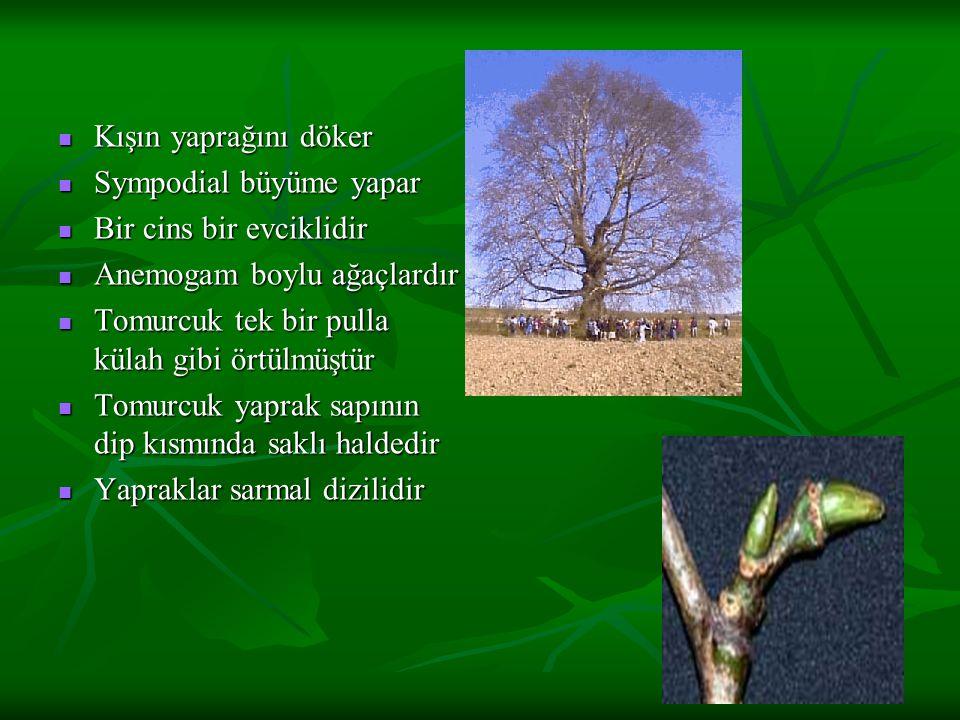 Kışın yaprağını döker Sympodial büyüme yapar. Bir cins bir evciklidir. Anemogam boylu ağaçlardır.