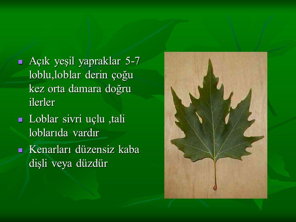 Açık yeşil yapraklar 5-7 loblu,loblar derin çoğu kez orta damara doğru ilerler