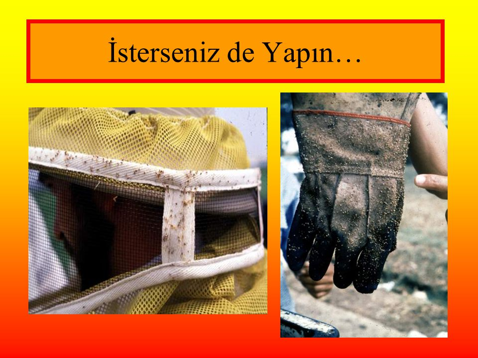 İsterseniz de Yapın… Stings showing in veil (left photo) and gloves (right – from Africanized bees).