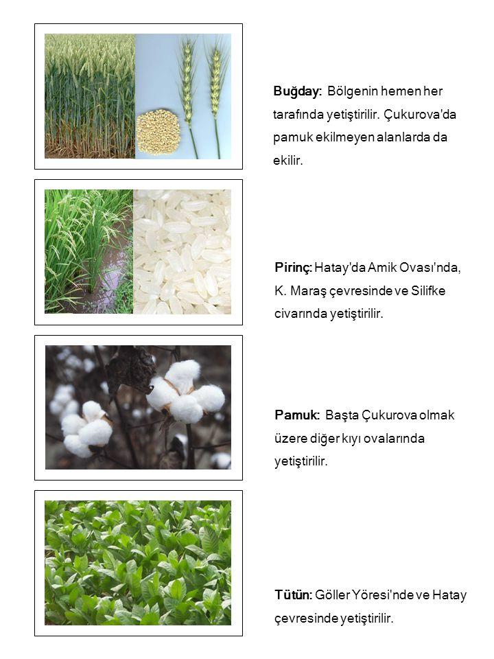 Buğday: Bölgenin hemen her tarafında yetiştirilir