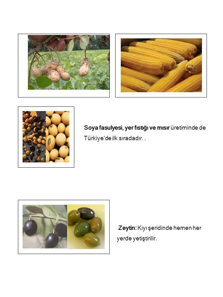 Soya fasulyesi, yer fıstığı ve mısır üretiminde de Türkiye de ilk sıradadır. .