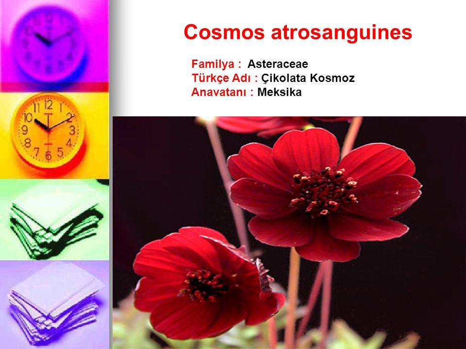 Cosmos atrosanguines Familya : Asteraceae Türkçe Adı : Çikolata Kosmoz