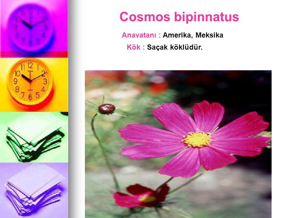 Cosmos bipinnatus Anavatanı : Amerika, Meksika Kök : Saçak köklüdür.