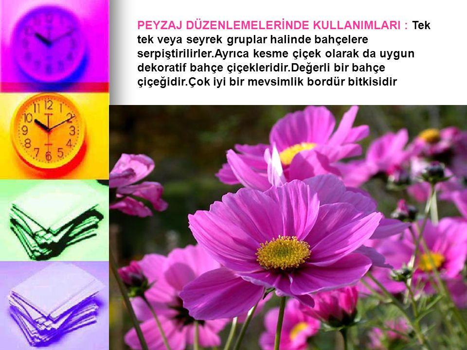 PEYZAJ DÜZENLEMELERİNDE KULLANIMLARI : Tek tek veya seyrek gruplar halinde bahçelere serpiştirilirler.Ayrıca kesme çiçek olarak da uygun dekoratif bahçe çiçekleridir.Değerli bir bahçe çiçeğidir.Çok iyi bir mevsimlik bordür bitkisidir