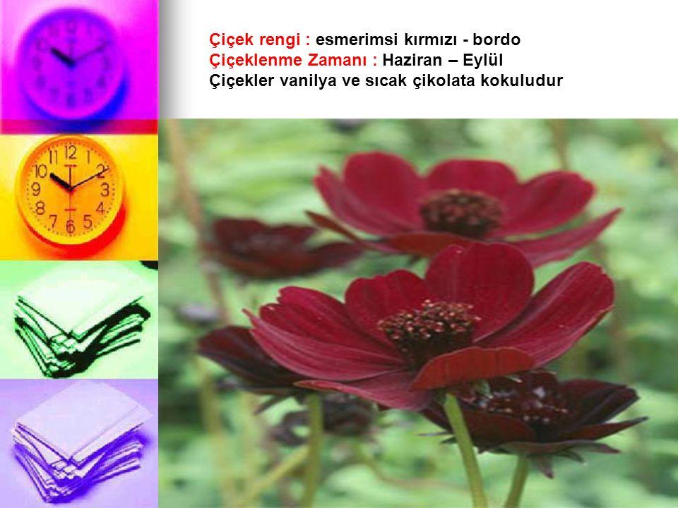Çiçek rengi : esmerimsi kırmızı - bordo