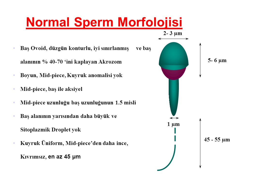 Normal Sperm Morfolojisi