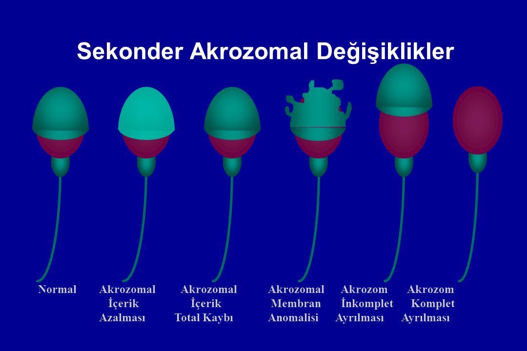 Sekonder Akrozomal Değişiklikler