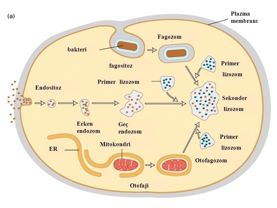 Plazma membranı. Fagozom. bakteri. Primer. lizozom. fagositoz. Primer lizozom. Endositoz. Sekonder.