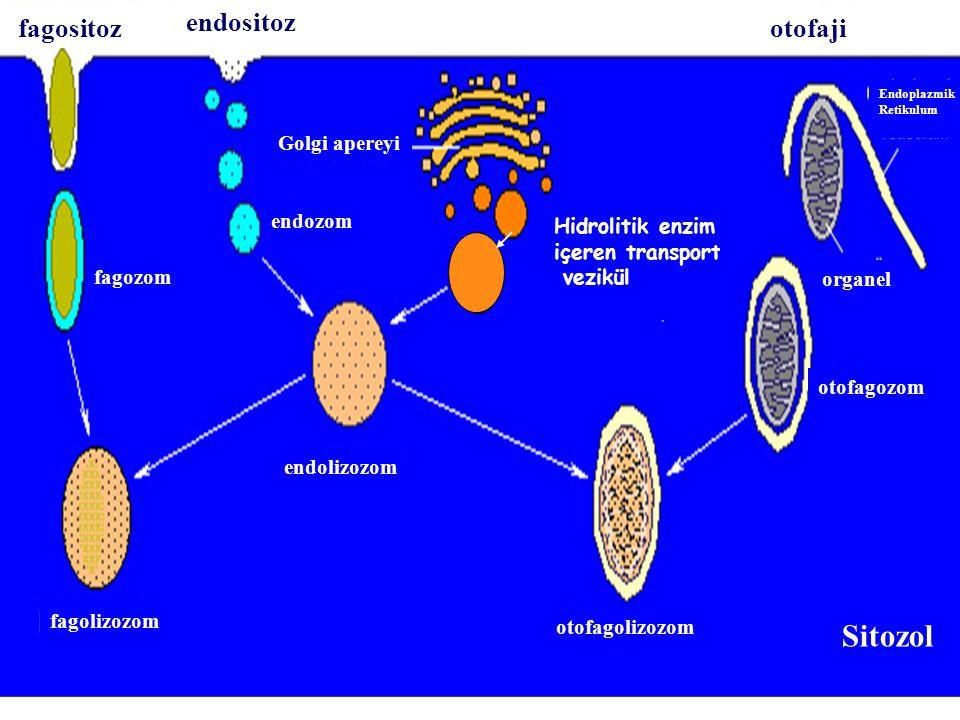Sitozol endositoz fagositoz otofaji Golgi apereyi endozom