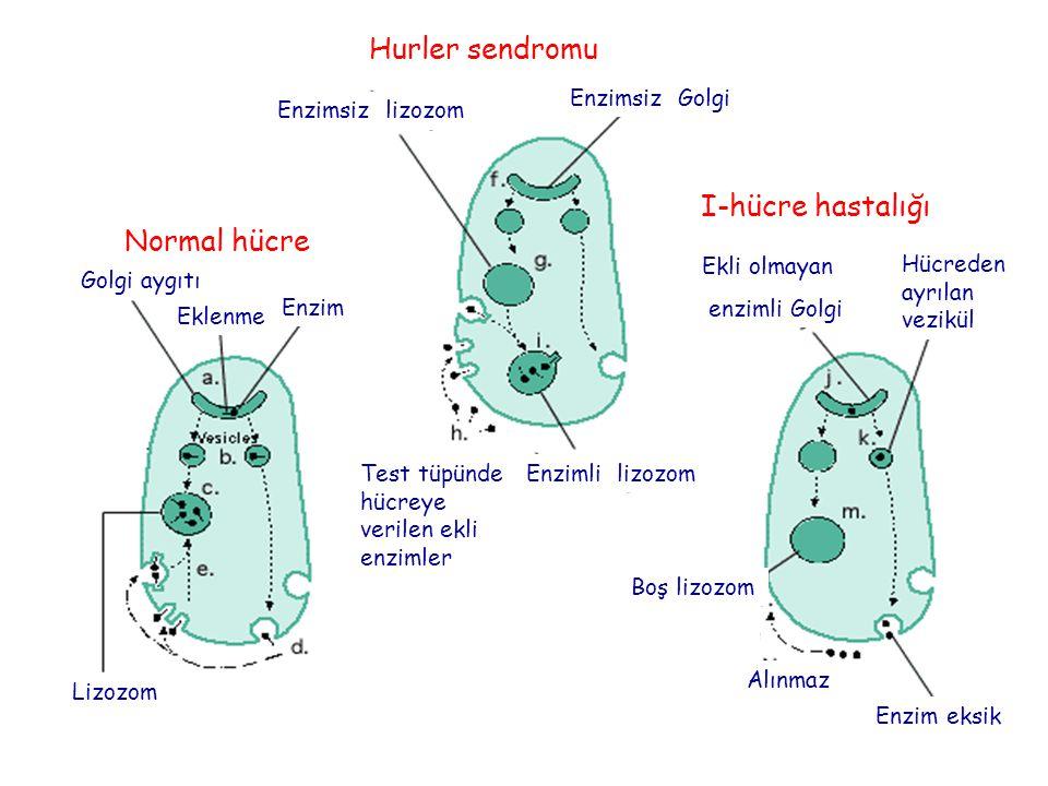 Hurler sendromu I-hücre hastalığı Normal hücre Enzimsiz Golgi
