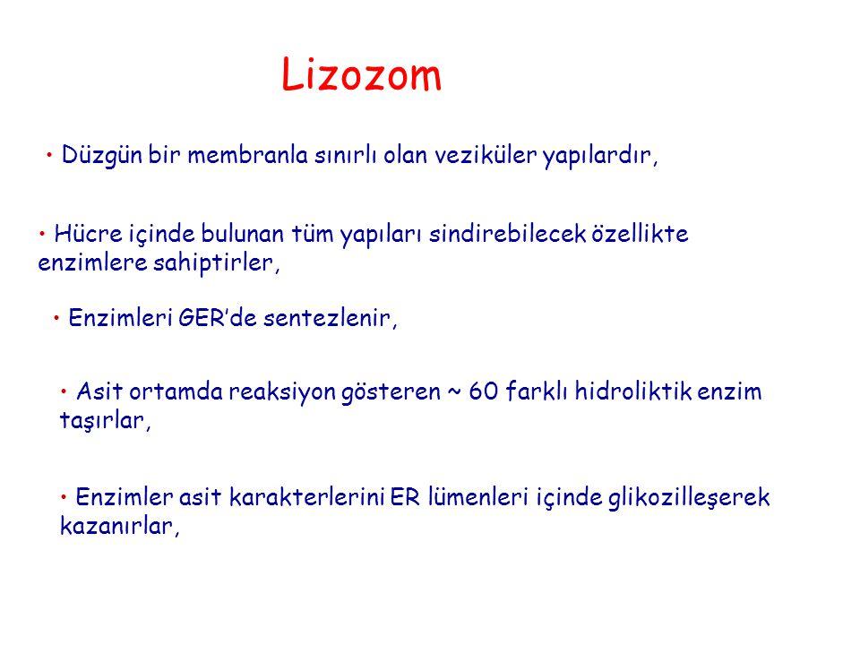 Lizozom Düzgün bir membranla sınırlı olan veziküler yapılardır,