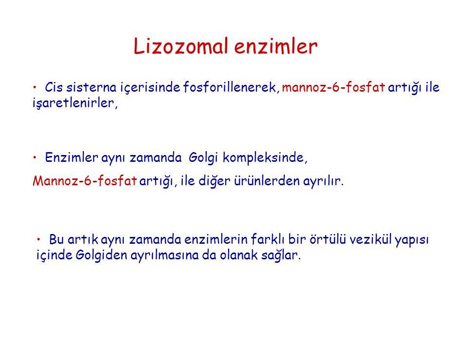 Lizozomal enzimler Cis sisterna içerisinde fosforillenerek, mannoz-6-fosfat artığı ile işaretlenirler,