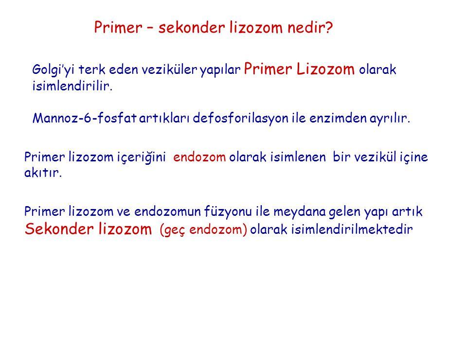Primer – sekonder lizozom nedir