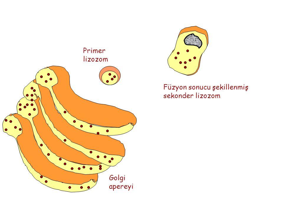 Primer lizozom Füzyon sonucu şekillenmiş sekonder lizozom Golgi apereyi