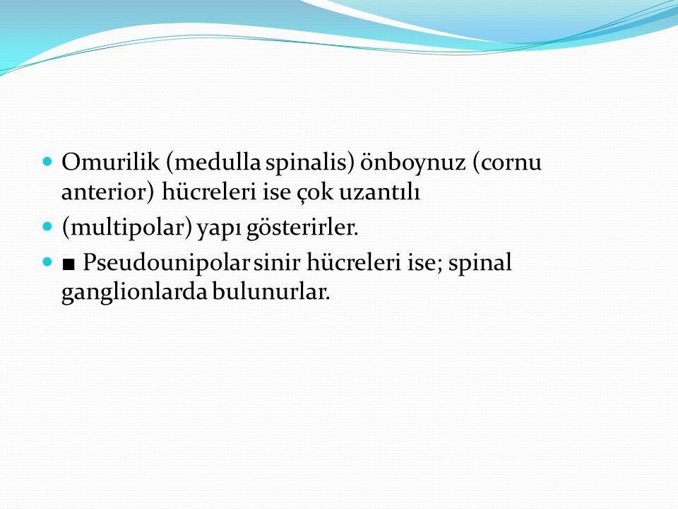 Omurilik (medulla spinalis) önboynuz (cornu anterior) hücreleri ise çok uzantılı