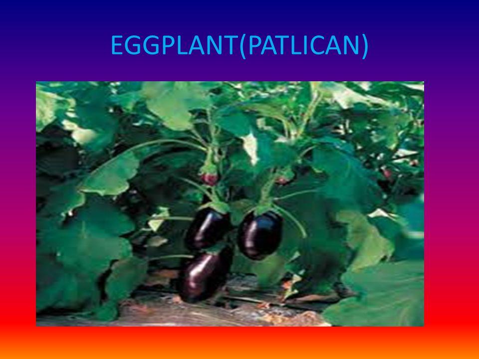 EGGPLANT(PATLICAN)