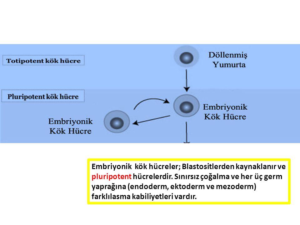 Embriyonik kök hücreler; Blastositlerden kaynaklanır ve pluripotent hücrelerdir.