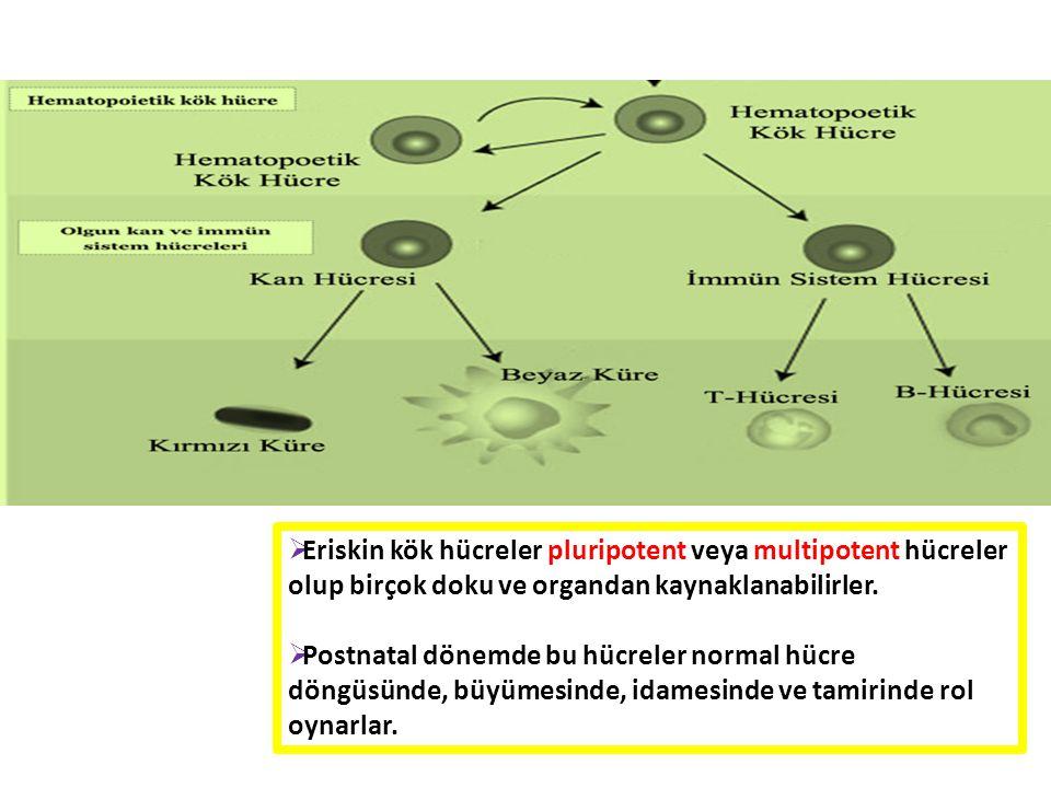 Eriskin kök hücreler pluripotent veya multipotent hücreler olup birçok doku ve organdan kaynaklanabilirler.