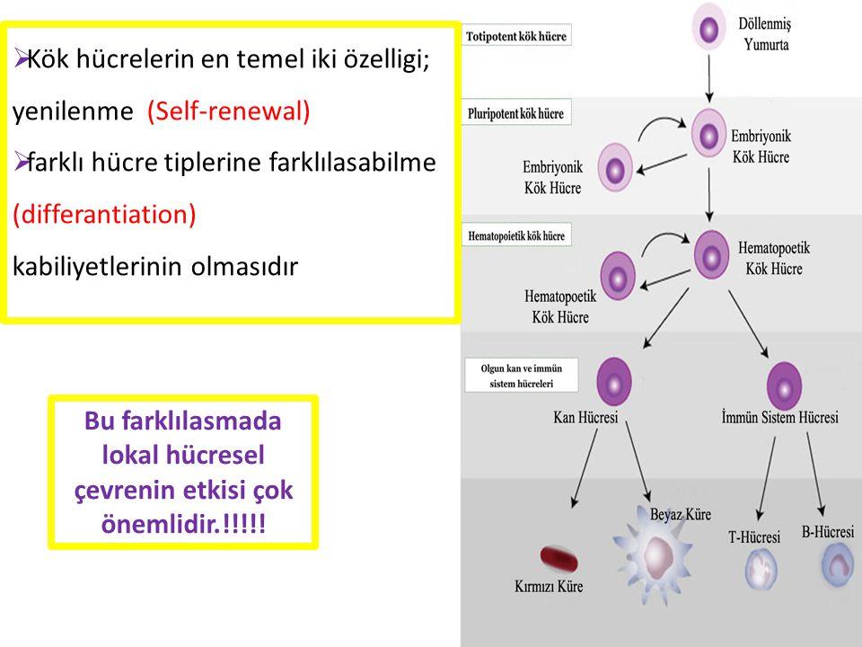 Bu farklılasmada lokal hücresel çevrenin etkisi çok önemlidir.!!!!!