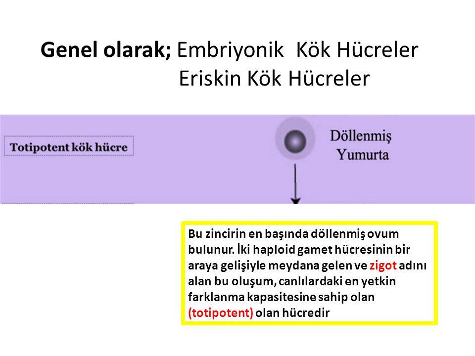 Genel olarak; Embriyonik Kök Hücreler Eriskin Kök Hücreler