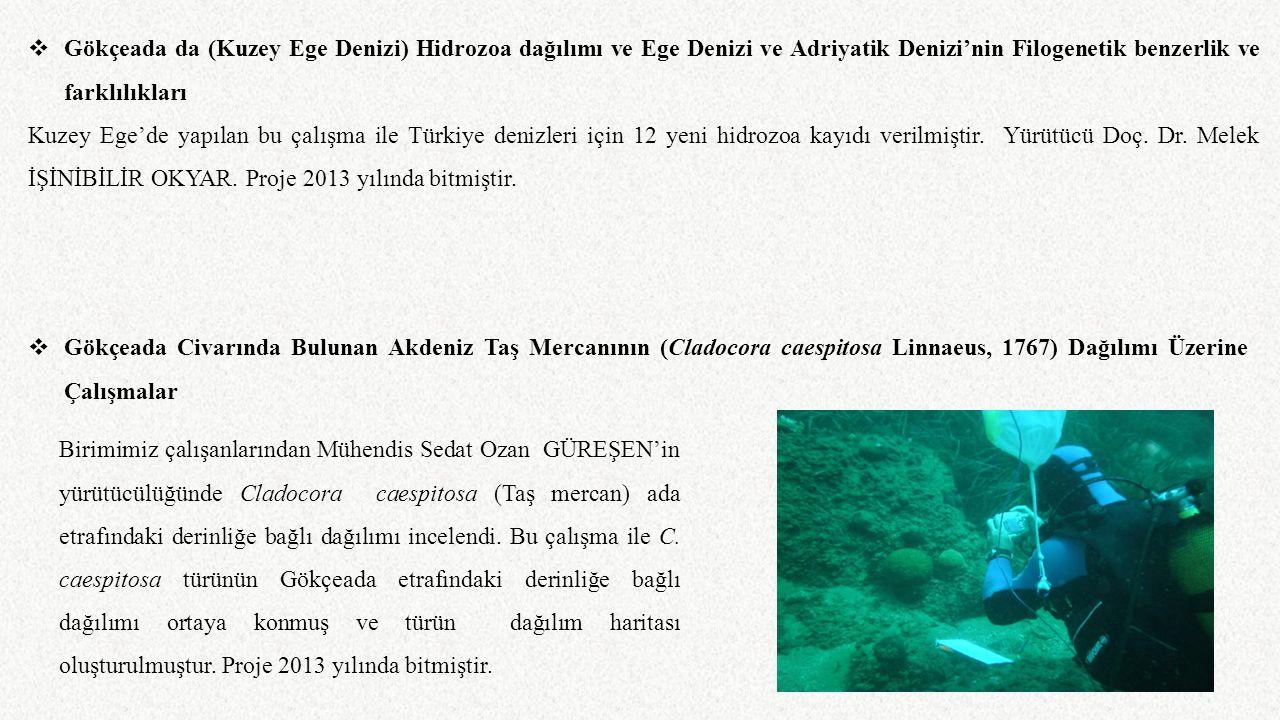 Gökçeada da (Kuzey Ege Denizi) Hidrozoa dağılımı ve Ege Denizi ve Adriyatik Denizi'nin Filogenetik benzerlik ve farklılıkları