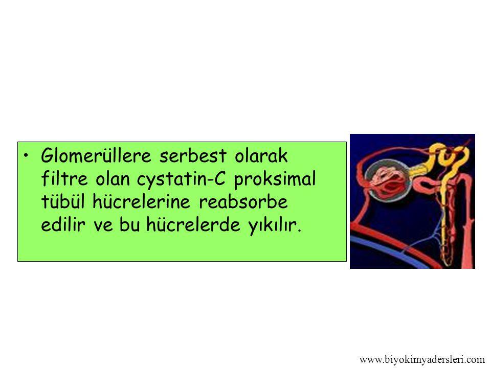 Glomerüllere serbest olarak filtre olan cystatin-C proksimal tübül hücrelerine reabsorbe edilir ve bu hücrelerde yıkılır.