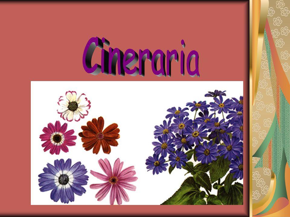 Cineraria
