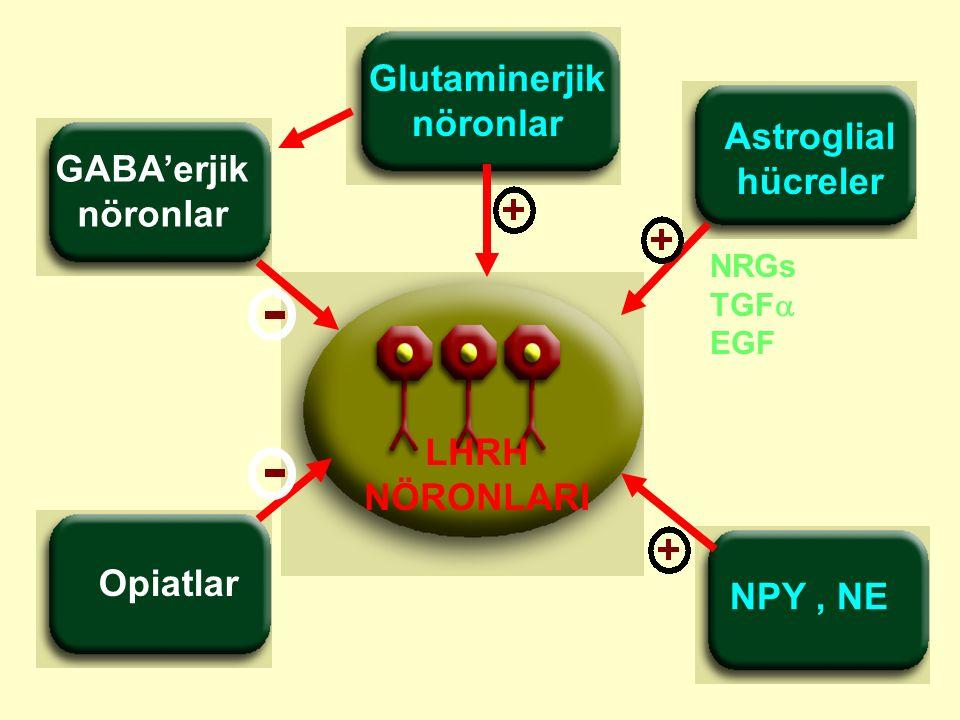 Glutaminerjik nöronlar Astroglial hücreler GABA'erjik LHRH NÖRONLARI