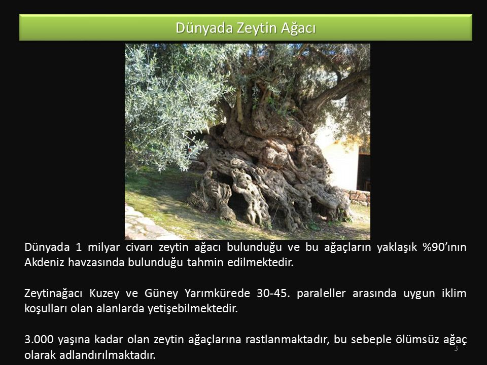 Dünyada Zeytin Ağacı