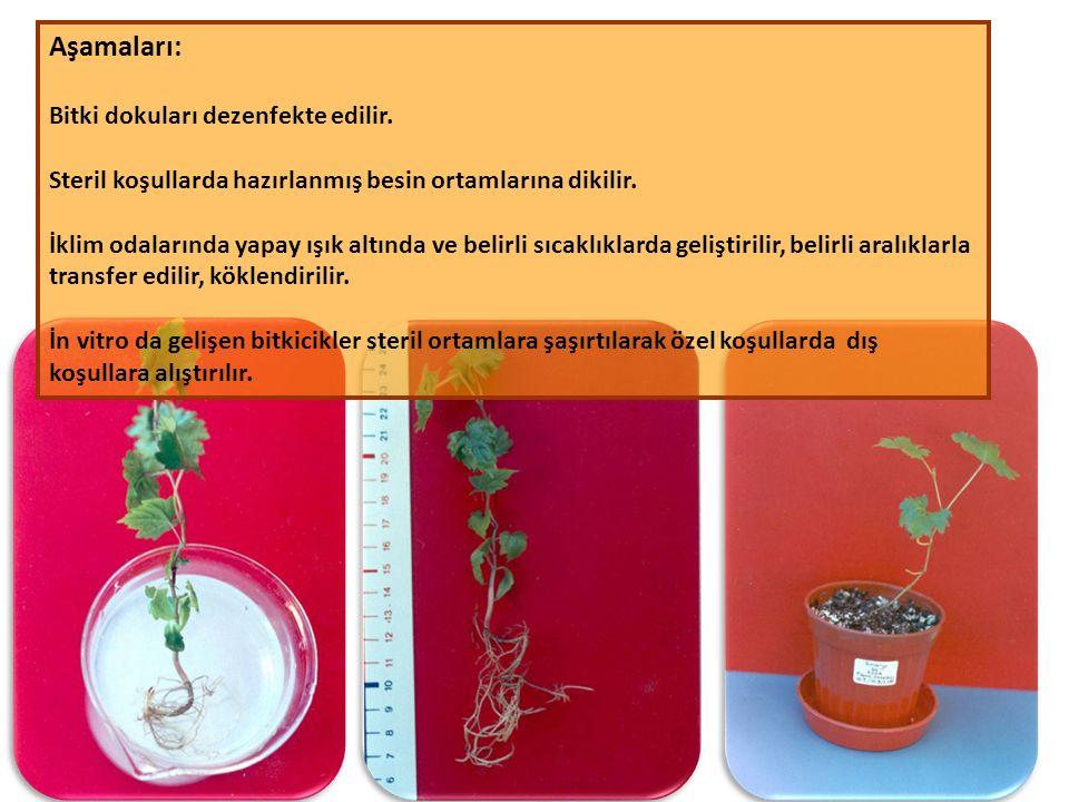 Aşamaları: Bitki dokuları dezenfekte edilir.