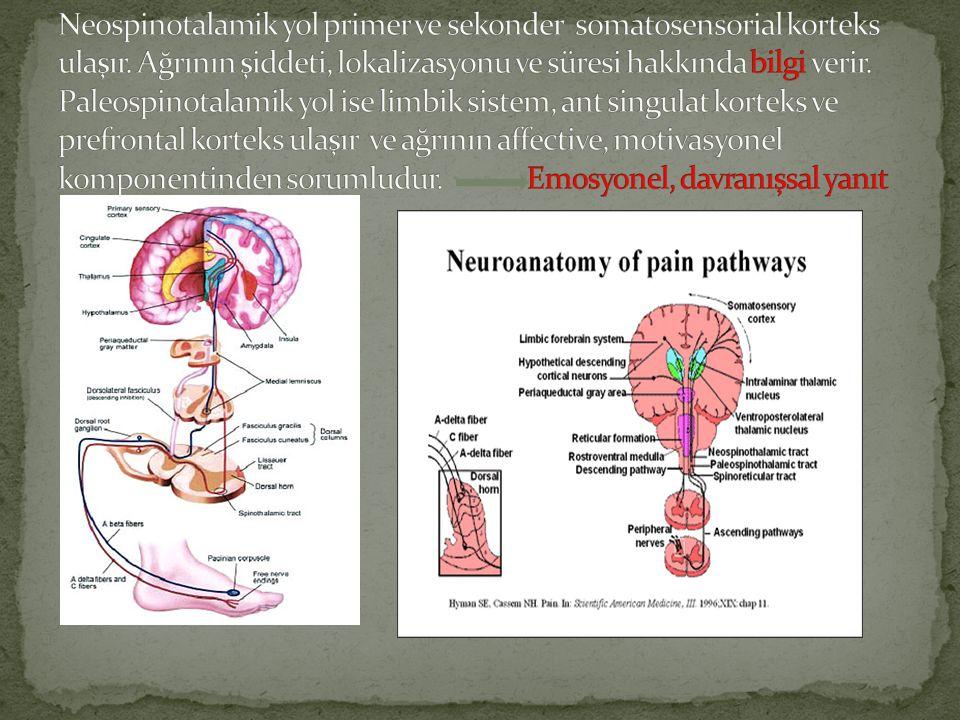 Neospinotalamik yol primer ve sekonder somatosensorial korteks ulaşır