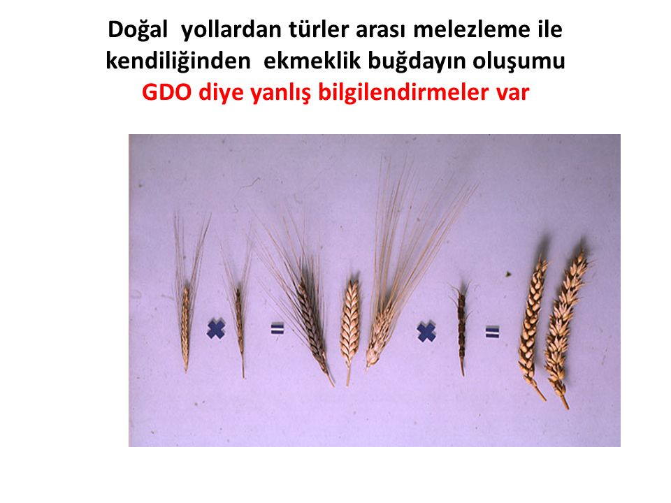 Doğal yollardan türler arası melezleme ile kendiliğinden ekmeklik buğdayın oluşumu GDO diye yanlış bilgilendirmeler var