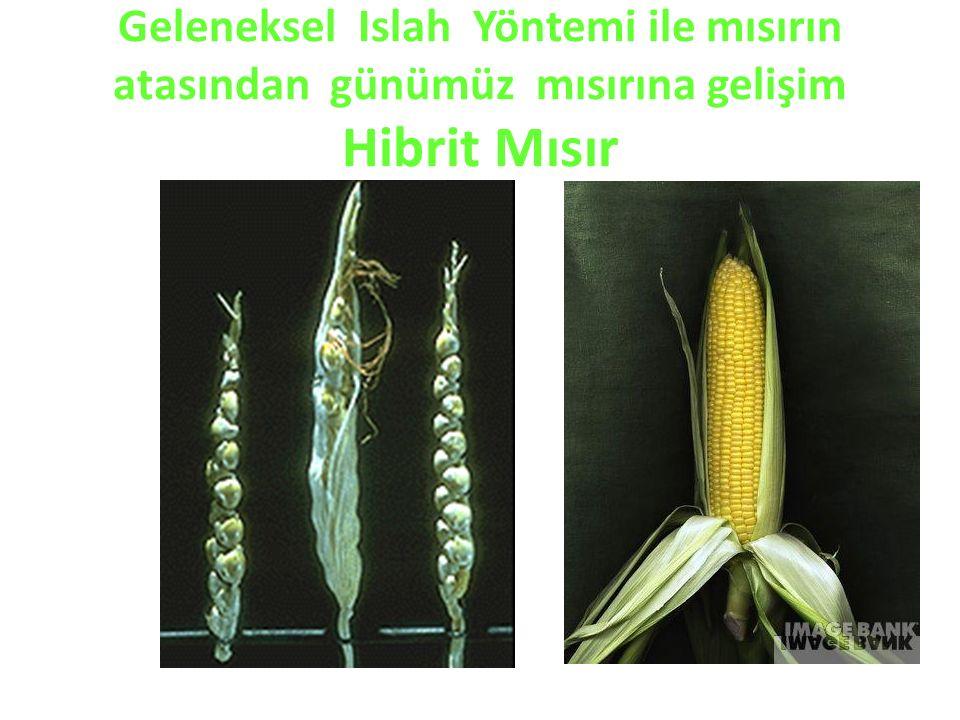 Geleneksel Islah Yöntemi ile mısırın atasından günümüz mısırına gelişim Hibrit Mısır